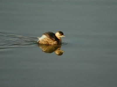 VIII cens d'aus aquàtiques