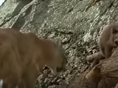 Osset perseguit per un puma